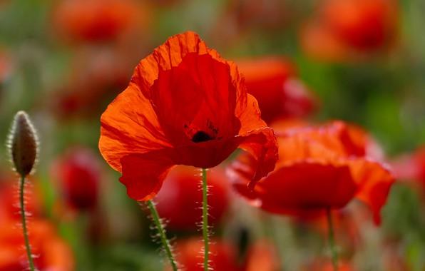 Picture flowers, Mac, flowering