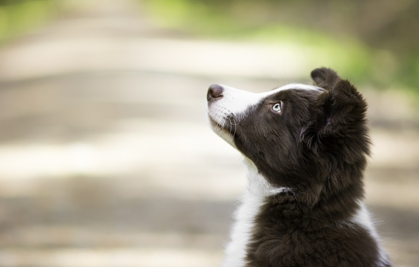 Picture look, background, portrait, dog, puppy, profile, face, bokeh, The border collie