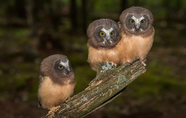 Picture birds, owls, trio, Trinity, North American boreal owl