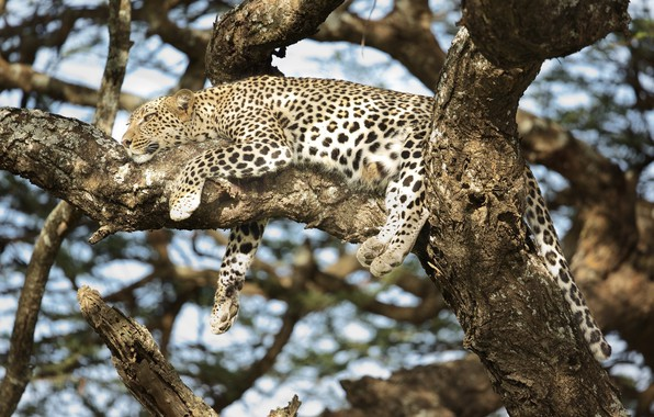 Picture stay, predator, spot, leopard, lies, disguise, color, wild cat, on the tree