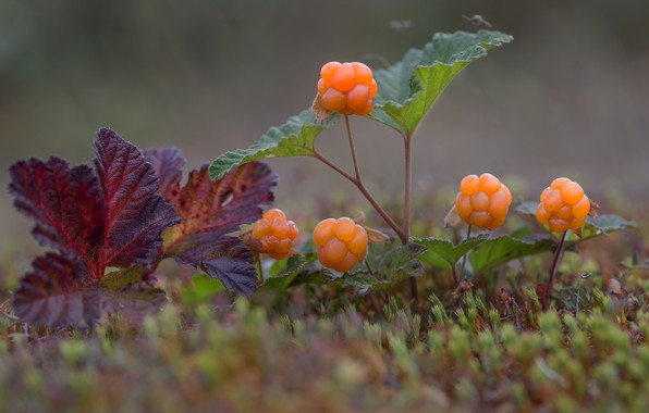 Picture berries, moss, cloudberry