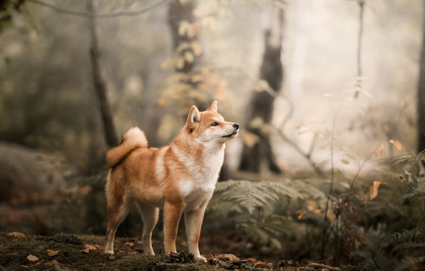 Picture forest, dog, Shiba inu