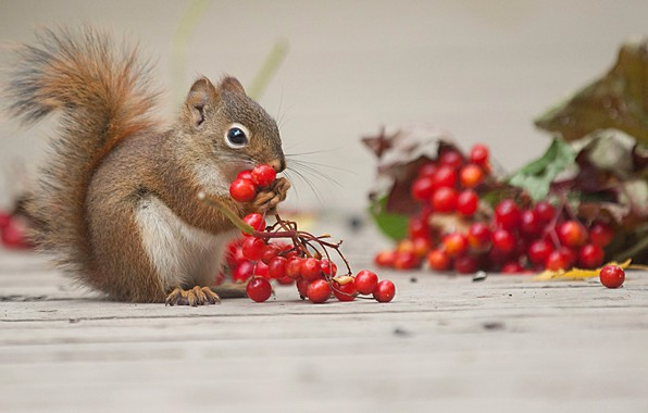 Picture berries, animal, protein, rodent, Kalina