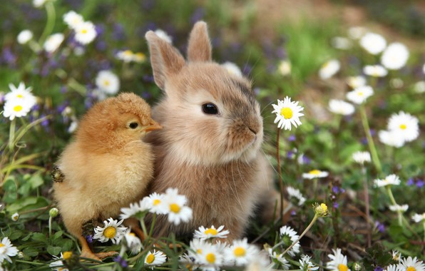 Picture nature, rabbit, weed, chicken, friends