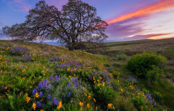 Picture sunset, flowers, tree, meadow, Columbia Hills State Park, Washington state