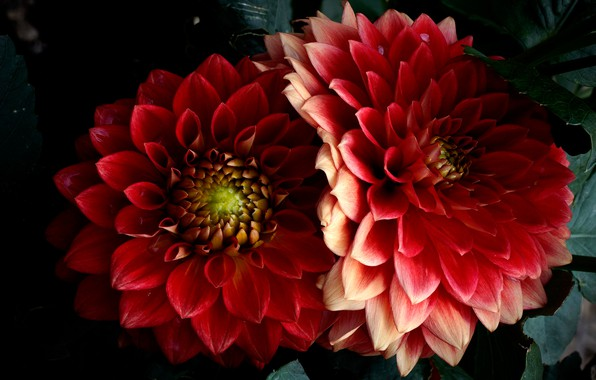 Picture macro, flowers, the dark background, bright, beauty, petals, red, al, dahlias, lush, Terry
