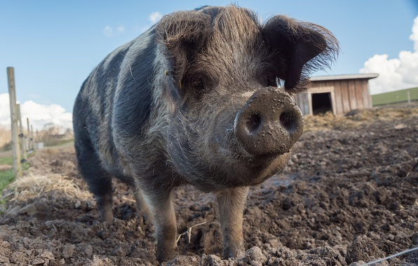 Picture background, dirt, pig