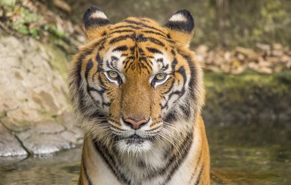 Picture cat, tiger, animal, tiger, cat, animal