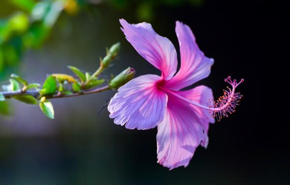 Picture macro, background, pink, petals, Hibiscus