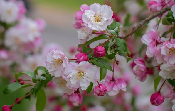 Picture macro, branch, spring, Apple, flowering, flowers, buds