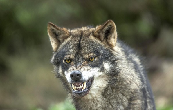 Picture wolf, predator, fangs, grin, bokeh