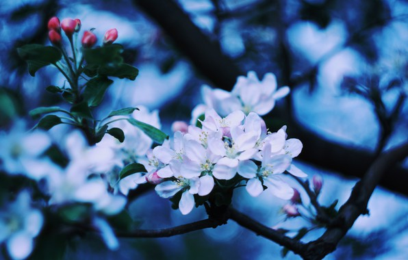 Photo Wallpaper Apple Blossom Blooming Tree Branch Of