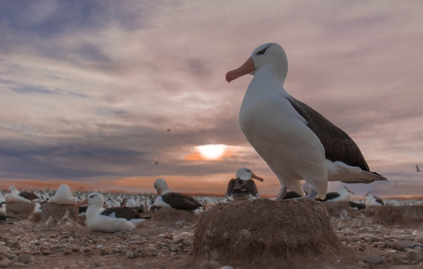 Picture sunset, birds, colony, Black-browed Albatross