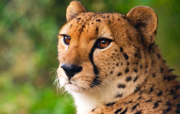 Picture cat, eyes, wool, Cheetah