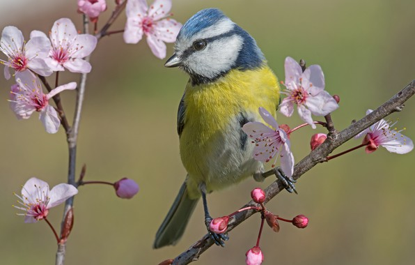 Picture branches, bird, spring, flowering, flowers, Tit, Blue tit