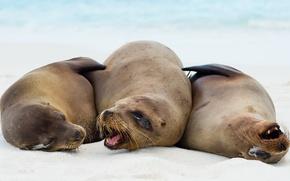 Picture nature, Galapagos sea lions, Zalophus wollebaeki