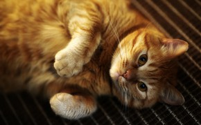 Picture cat, cat, look, pose, legs, red, lies, ginger, mordaha, Kote, thick, nyasha, collapsed, chubby