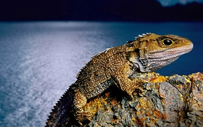 Picture New Zealand, lizard, reptile, tuatara, clubology, the tuatara
