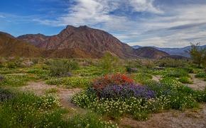 Picture landscape, flowers, mountains, Park, Colorado, USA, Anza-Borrego Desert