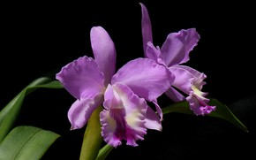 Picture leaves, macro, background, petals, Orchid