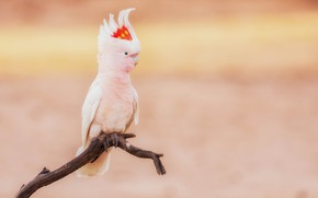 Picture background, bird, branch, parrot, Cockatoo
