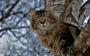 Picture cat, cat, look, tree, birch, on the tree