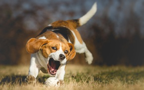 Wallpaper English hound, a walk in the Park, caught the ball, happy friendly purebred, active nimble, ...