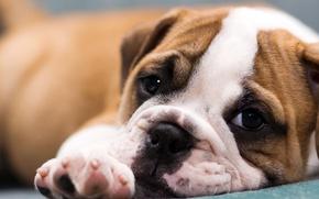 Picture muzzle, puppy, bulldog, English