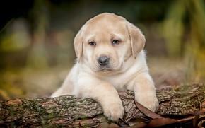 Wallpaper puppies, a couple, chocolate, Labrador Retriever, dogs, kids, bokeh