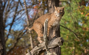 Picture forest, the sun, trees, branches, predator, lynx, bokeh