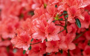 Picture flowers, nature, background, branch, red, flowering, al, inflorescence, Azalea, rhododendrons