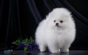 Wallpaper puppy, fluffy, white, Spitz