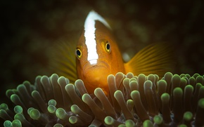Wallpaper sea, the ocean, fish, underwater world, under water, clown fish, sea anemones