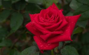 Picture leaves, drops, macro, rose, petals, Bud, red rose