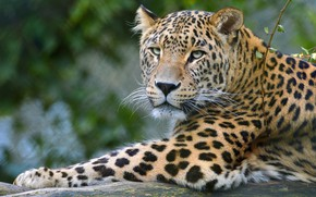 Picture look, face, cats, background, branch, paws, leopard, lies, wild cats, wildlife, bokeh
