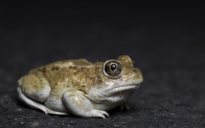Picture nature, frog, Great Basin Spadefoot Toad