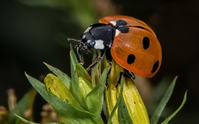 Picture nature, plant, ladybug, insect