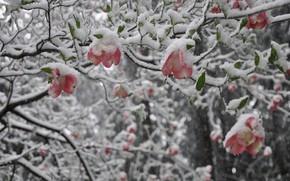 Picture Nature, Winter, Tree, Snow, Magnolia
