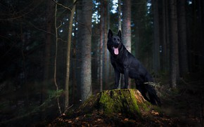 Picture forest, stump, dog