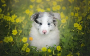 Picture look, flowers, dog, puppy, bokeh, The border collie