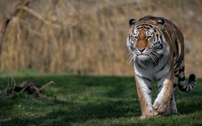 Picture tiger, predator, wild cat, bokeh