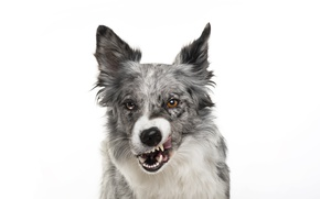 Picture dog, muzzle, grin, white background, grin, dog