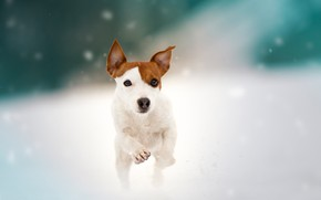 Picture snow, dog, walk, doggie, Jack Russell Terrier