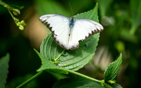 Picture green, white, black, nature, butterfly, leaves, macro, insect, highland, malaysia, cameron, cameron highland