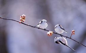 Picture winter, birds, berries, branch, Japan, Hokkaido, long-tailed tit
