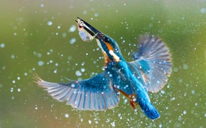 Picture water, squirt, bird, wings, fish, Kingfisher, kingfisher, catch