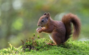 Picture nature, background, moss, baby, protein, eats, squirrel, bokeh, nut, squirrel, timid