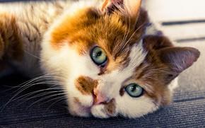 Picture cat, look, muzzle, Kote