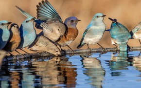 Picture water, birds, Western sialia, blue sialia