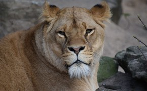 Picture Look, Cat, Lioness, Face, Animal